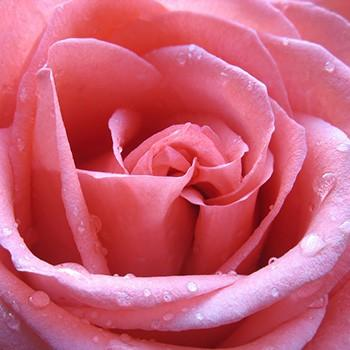 Happy Valentine's Day! Give Bulgarian Roses.